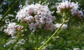 Какие успокоительные травы для нервов и стресса можно пить?